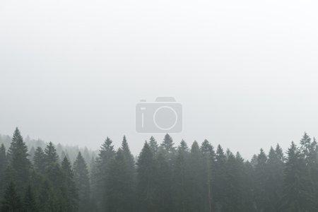 Photo pour Vue sur la forêt de pins dans le brouillard - image libre de droit
