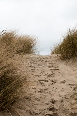 Photo for Footsteps in the sand in between sandy grass dunes - vertical - Royalty Free Image