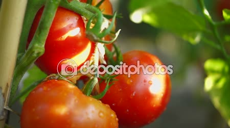 Organic Tomatoes In My Garden, After Rain,Reed Stake, Tilt