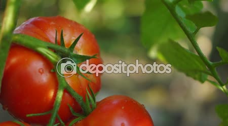 Organic, Fresh Tomatoes In My Garden, After Rain, Tilt
