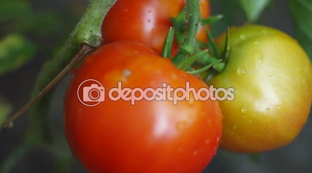 Organic, Imperfect Tomatoes In My Garden, After Rain, Tilt