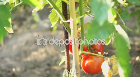 Organic Tomatoes In My Garden With Summer Sun