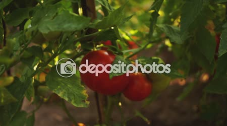 OrganicTomatoes In The Garden, Tilt