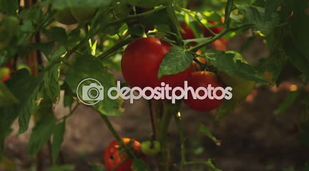 OrganicTomatoes In The Garden,tilt up