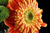 Chryzantéma květ zelený malý