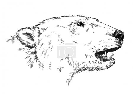 Illustration for Black and white engrave ink draw isolated vector polar bear - Royalty Free Image