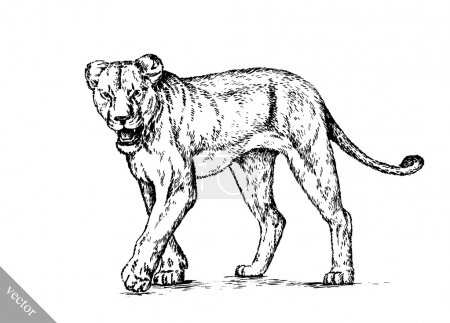 Illustration for Black and white brush painting ink draw vector isolated lion illustration - Royalty Free Image