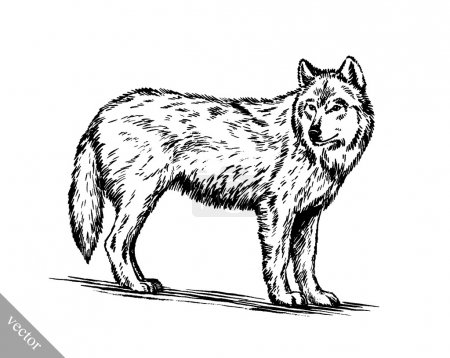 Illustration for Black and white vector engrave ink draw isolated wolf - Royalty Free Image