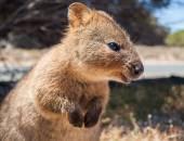 Australský klokan Quokka rottnest island profilu