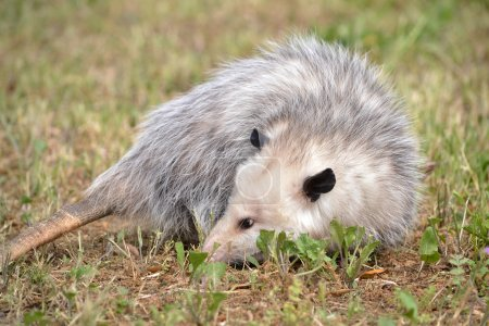 Virginia Opossum laying down