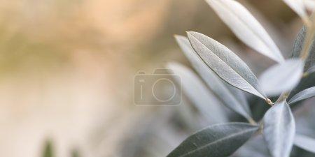 Olive tree photo background