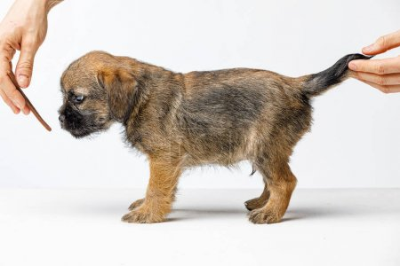 Photo for Little beautiful brown puppy on a white background - Royalty Free Image