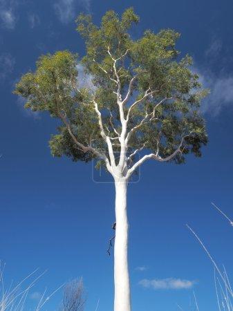 Late afternoon white Gum Tree on deep blue sky near Simpsons Gap