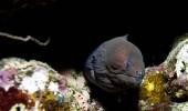 Rudé moře muréna