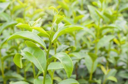 tea bud and fresh leaves in tea plantations
