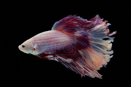 Photo for Betta Siamese fighting fish, black background - Royalty Free Image
