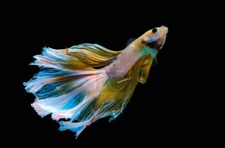 Photo for Betta Siamese aquarium fighting fish, black background - Royalty Free Image
