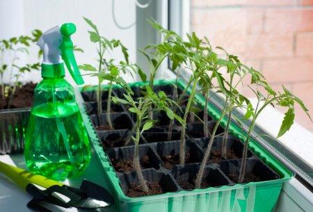 Photo pour Semis de tomate en pot sur la fenêtre - image libre de droit