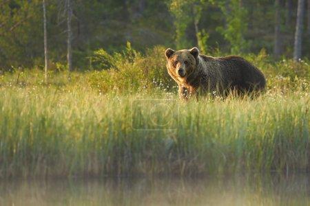 Photo pour Un gros plan d'un gros ours brun mâle sauvage regardant directement la caméra dans l'herbe en fleurs dans la taïga finlandaise derrière un petit lagon forestier brumeux. Forêt arctique européenne profonde en arrière-plan, éclairée par une lumière colorée tôt le matin  . - image libre de droit