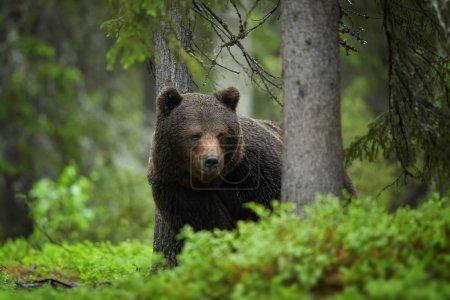 Gros plan d'un gros ours brun sauvage dans une forêt d'épinettes d'Europe vert profond observant attentivement les environs