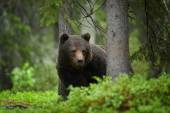 A close up shot of a wild big Male brown bear in deep green european spruce forest carefully watching surroundings