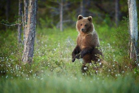 ourson debout dans l'herbe en fleurs