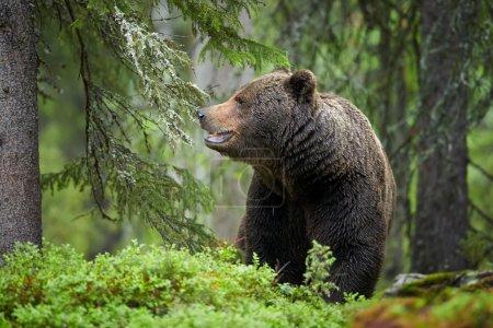 Grand ours brun mâle sauvage dans la forêt européenne vert profond
