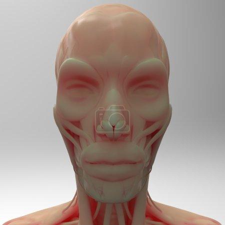 Human Facial Muscles