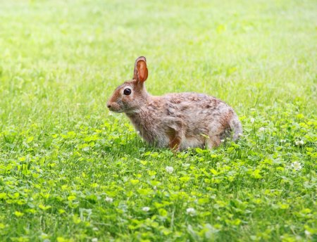 Photo for Hare in grass during summer - Royalty Free Image