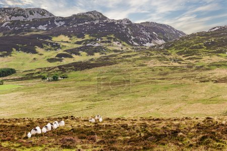Sheep herd on a pasture