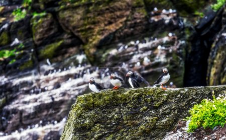 Atlantic puffins group