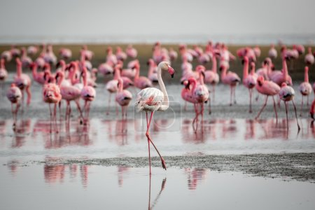 Group of Flamingos in Walvis Bay