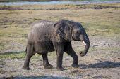 """Постер, картина, фотообои """"Дикий слон в национальном парке Мореми"""""""
