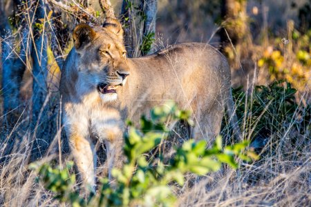 beautiful lioness in Chobe National Park
