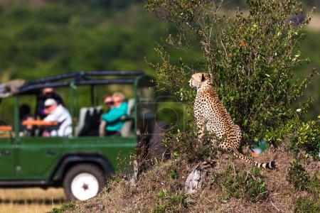 Cheetah around savannah