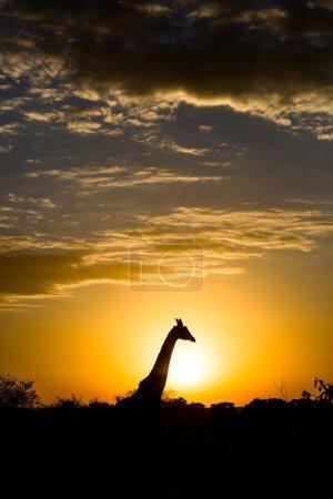 Nice giraffe during early hours