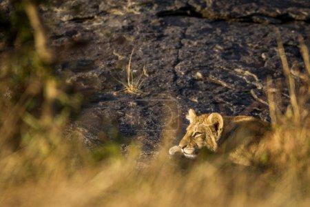 Big lioness in Serengeti National Park