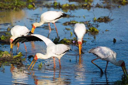 Yellow-billed Storks Fishing