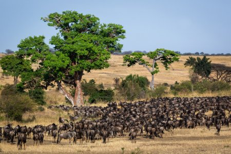 Migration of thousands of Wildebeest