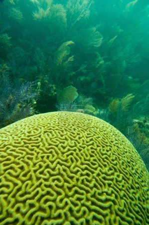 Brain coral formation