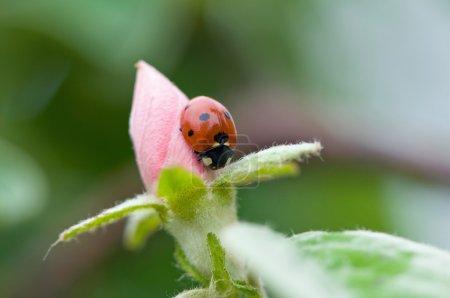 Ladybug on pink bud