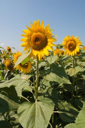 Photo for Beautiful sunflowers growing in field over clear blue sky background - Royalty Free Image