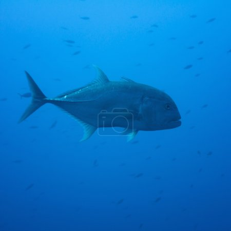 Giant trevally in deep muddy water...