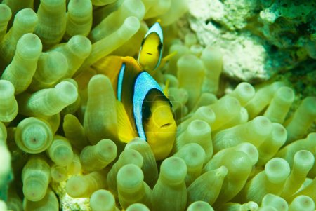 Clownfish pair in their anemone habitat