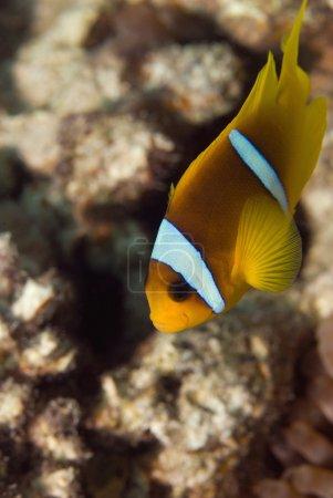 Tropical Clownfish underwater