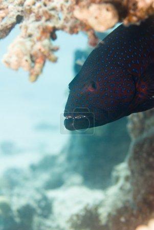 coral grouper underwater