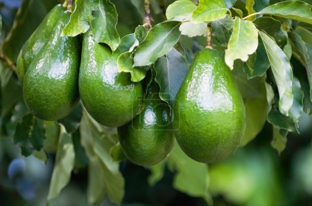 Photo for Green avocados fruit growing on tree branch, shallow focus - Royalty Free Image
