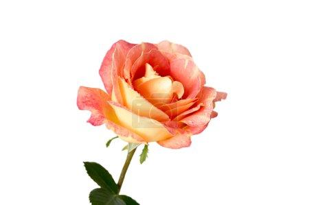 Flower rose on a white