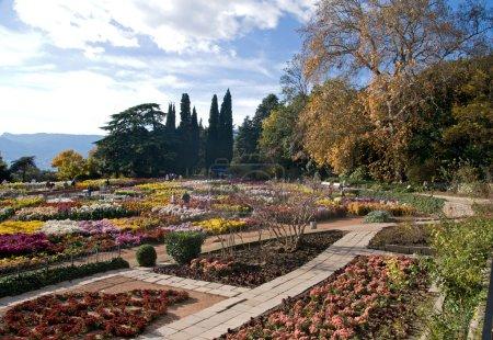 Nikita Botanical Garden, Yalta, Crimea. Ball of Chrysanthemums.