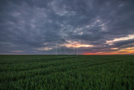 sunset over the growing wheat